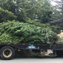 Planting Transported Full Sized Trees in Whistler